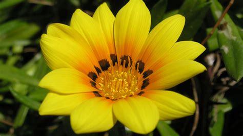 apple wallpaper yellow flower widescreen yellow 1080p wallpapers hd wallpapers id 5567