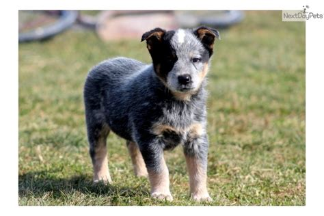 blue heeler puppies for sale in ny australian blue heeler puppies for sale breeds picture