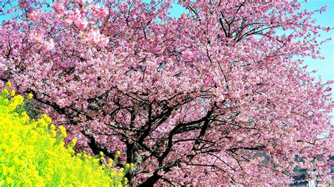 cherry tree mac os x cherry blossom tree backgrounds 52