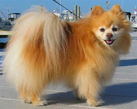 pomeranian span pomeranian size weight and expectancy many