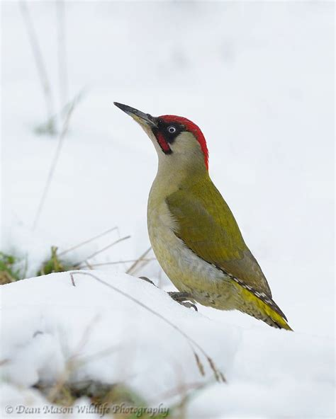 green woodpecker in the snow by dean mason via 500px