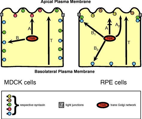 retinal pigment epithelial cells exhibit unique expression
