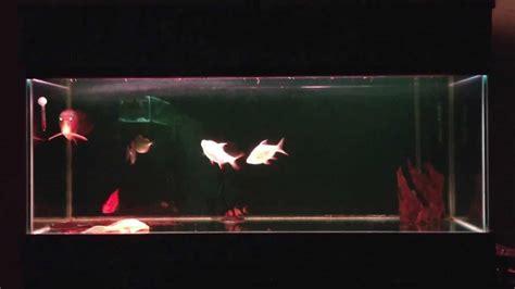 Lu Aquarium Arwana indigo arowana 43 cm community tank aquarium