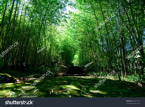 lush green forest path sunny wallpapers lush green green bamboo forest path leads through stock photo