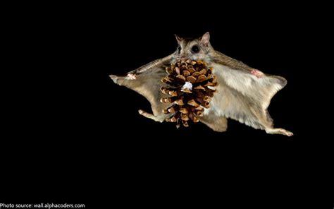 scogliattolo volante interesting facts about squirrels just facts