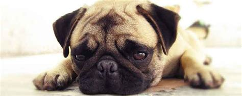 home remedies for ringworm in dogs 7 home remedies for ringworm in dogs naturalalternativeremedy