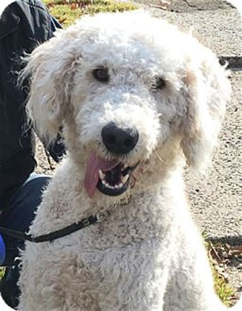 goldendoodle puppy rescue nj bloomingdale nj goldendoodle meet nj bobby a for