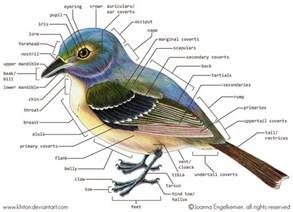 bird external anatomy by khiton on deviantart