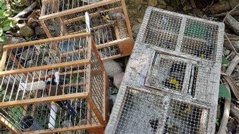 cardellini in gabbia cardellini in gabbia e trappole per catturarli una denuncia