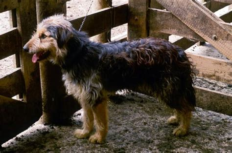 In Law Housing Bearded Collie Farm Dogs Te Ara Encyclopedia Of New