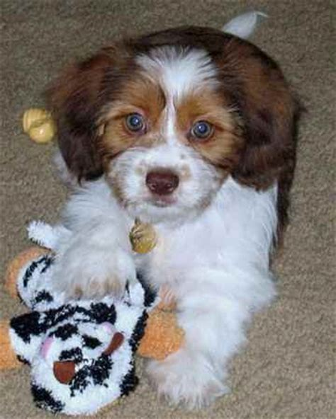 shih tzu and dachshund mix puppies schweenie dachshund shih tzu mix info puppies temperament pictures