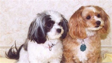 how big do yorkie maltese get poodle how big do maltese get breeds picture
