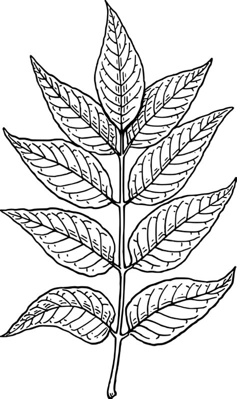 ash leaf coloring page images leaf coloring pages 2 coloring ville