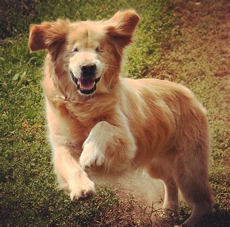 smiley golden retriever disabled dogs 17 dogs that overcame adversity