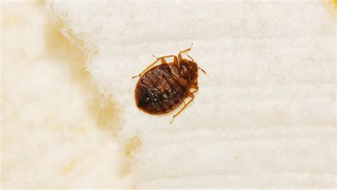 Is It Possible To Only One Bed Bug by Is It Possible To Permanently Remove Bed Bugs Completely