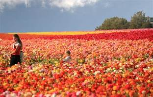Carlsbad Flower Field Coupon - pics photos the flower fields at carlsbad ranch is only