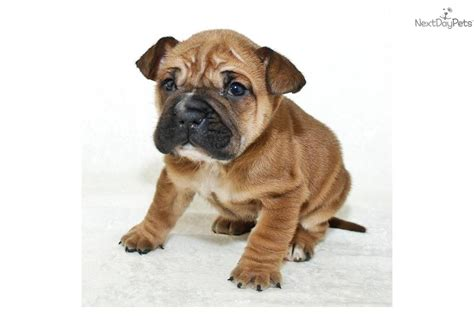 bull pei puppies bull pei puppies for sale breeds picture