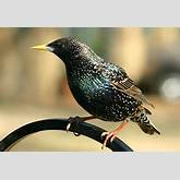 European Starling, Identification, All About Birds - Cornell Lab of ...