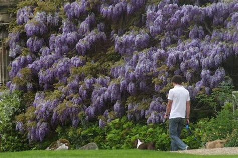 training wisteria vines to wall gardening john humphries wales online