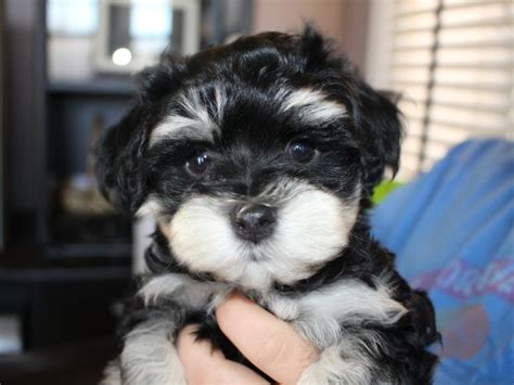 akc havanese puppies for sale 17 best ideas about havanese puppies for sale on havanese puppies teddy