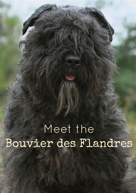 large hypoallergenic dogs bouvier des flandres large breed hypoallergenic