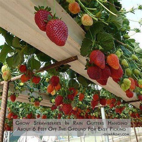 growing strawberries in raised beds growing strawberries outside raised beds organic