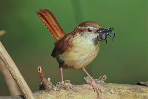 carolina wren facts habitat diet life cycle baby pictures