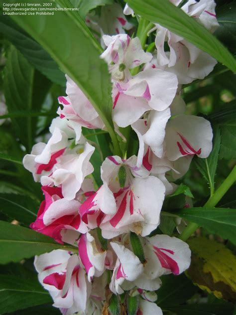 Bijibenihbibit Bunga Pacar Air Jingga world of flower pacar air
