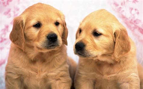 golden retriever newborn two golden retriever baby 1440x900 wallpapers golden retriever 1440x900 wallpapers