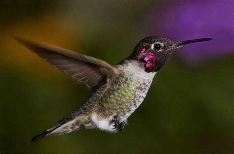 hummingbird facts images reverse search