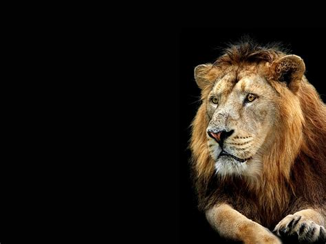 wallpaper 3d lion lion wallpapers 3d wallpaper nature wallpaper free
