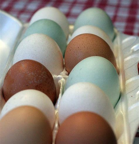colored eggs araucana also called easter egg chickens lay colored