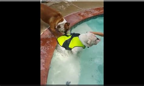 Pinks Bulldog Drowns In Pool by Says Not Before Your Food Digests You Ll Get A