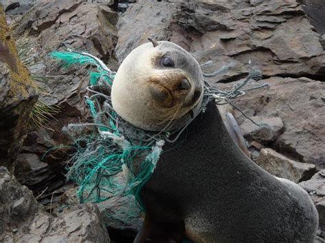 Seal Plastik the deadly effects of water pollution south coast herald