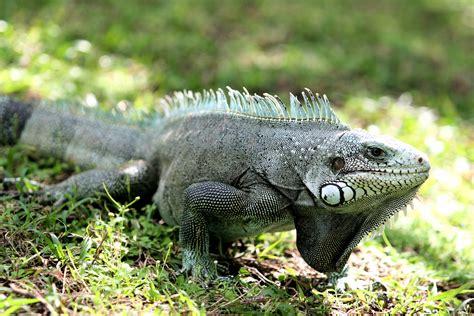 imagenes de iguanas verdes y negras iguanas cuidados imagenes taringa
