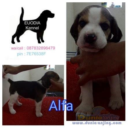 Jual Jual Beagle Puppies Kaskus dunia anjing jual anjing beagle jual beagle puppies