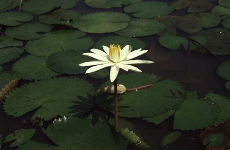 west plants a photo guide nymphaea lotus l