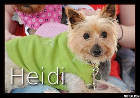 yorkie rescue groups animal browse