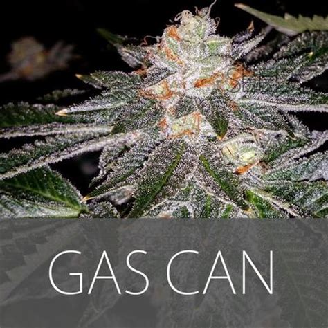 puppy breath smells like skunk gas can from exclusive seeds strains io cannabis marijuana strain info