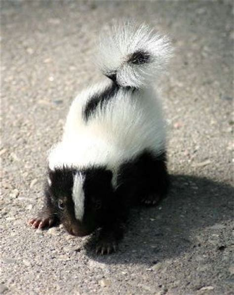 Why Does House Smell Like Skunk 25 Best Ideas About Skunks On Skunk Spray