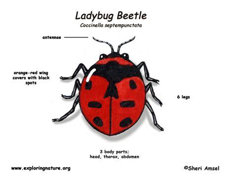 ladybug diagram ladybug beetle ladybug