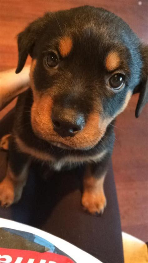 baby rottweilers for sale chunky baby rottweiler for sale grays essex pets4homes