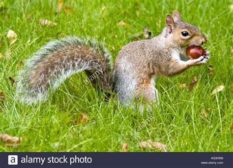 what do gray squirrels eat