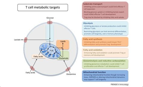 targeting pattern recognition receptors in cancer immunotherapy targeting t cell metabolism for therapy trends in immunology