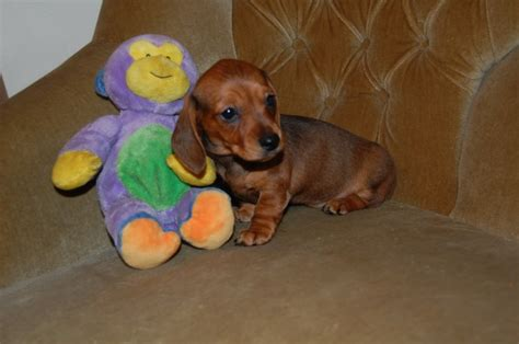 mini dachshund puppy rescue tiny miniature dachshund rescue breeds picture