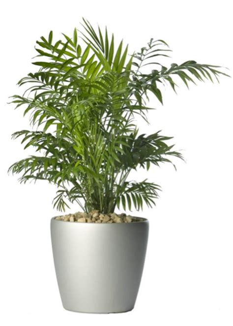 in door plants pot video three four plants argements palmeira chamaedorea elegans