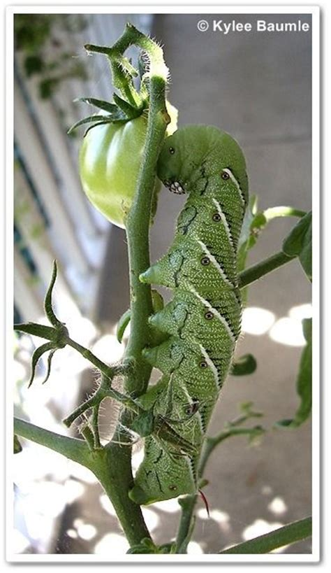 tomatoes garden pests and tomato plants on pinterest