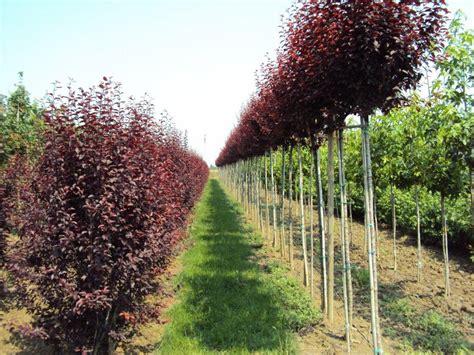 alberi alto fusto da giardino piante da giardino alto fusto