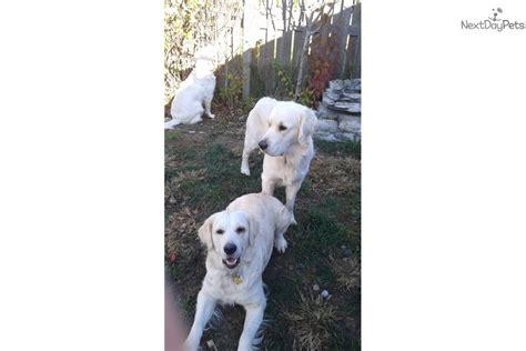 buy a golden retriever puppy 200 golden retriever puppy for sale near indianapolis indiana 8119a479 1f91
