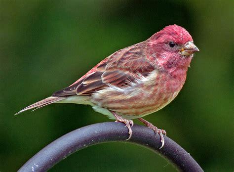 purple finch bernardsville nj mocosocobirds